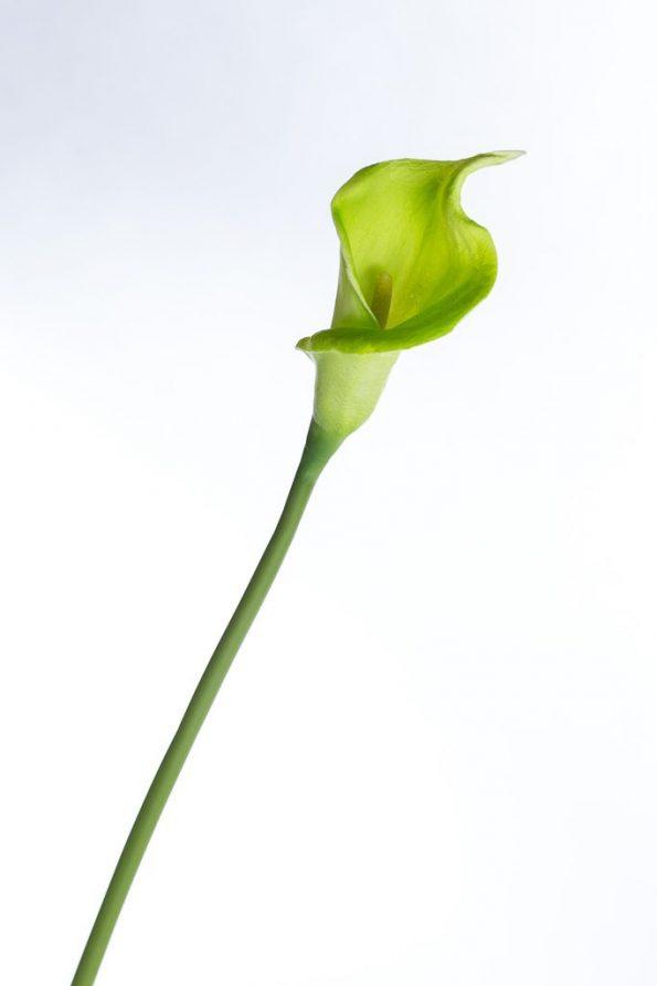 Calla Lillies Green
